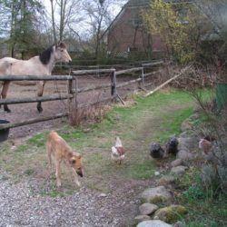 Amy und die Hühners